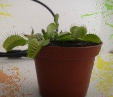 planta insectívora