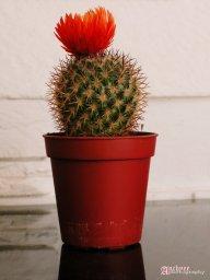 Cactusera