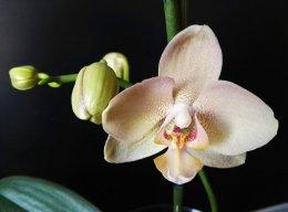 BellaPhalaenopsis