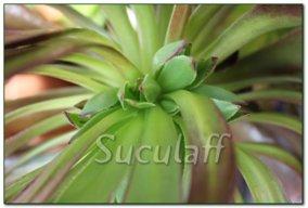 Suculaff