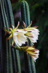Criscactus