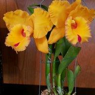 orkidea vanda