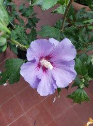 hibiscus.blue